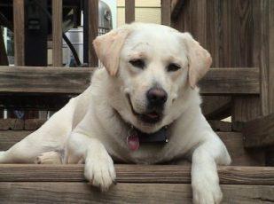 m-perro-labrador-retriever.html-5